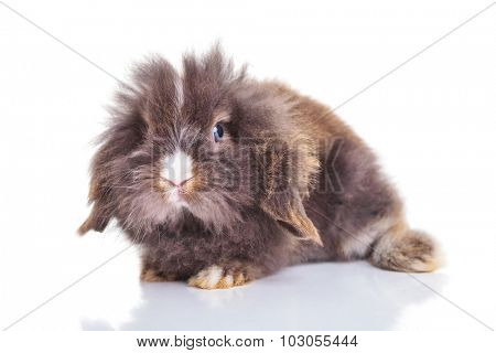 Full body of a cute lion head rabbit bunny lying on isolated background.