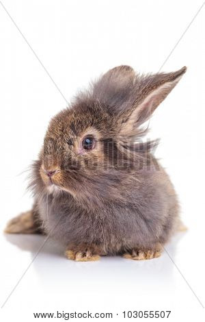 Picture of a cute lion head rabbit bunny sitting on white studio background.