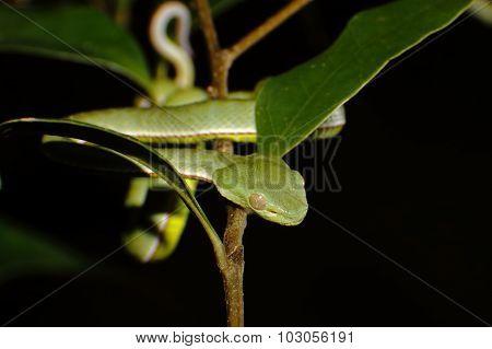 Vogel's Green Pitviper Trimeresurus Vogeli Snake