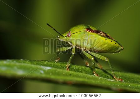 Southern Green Shieldbug, Green Stink Bug Nezara Viridula