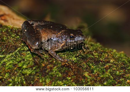 Berdmore's Chorus Frog Microhyla Berdmorei