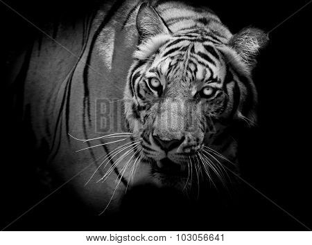Black And White Tiger Looking His Prey And Ready To Catch It.