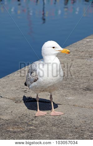 Seagull standing at waters edge.
