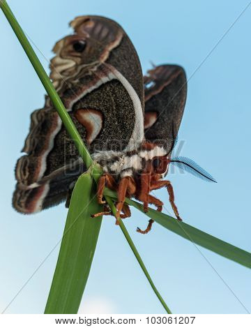 Profile View Of Orange, White And Brown Giant Silk Moth On Green Grass