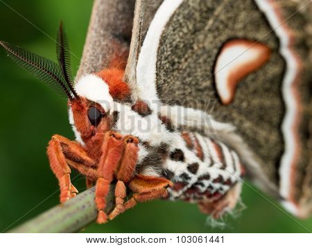 Profile View Of Orange, White And Brown Giant Silk Moth