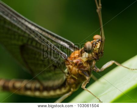 Closeup Of Brown Mayfly On Green Grass