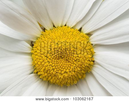 Yellow Daisy With White Petals Close Up