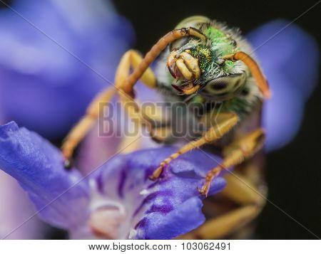 Green Metallic Sweat Bee On Purple Flower Tugs On Antenna
