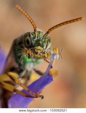 Green Metallic Sweat Bee Crosses Arms On Purple Flower Straight On View