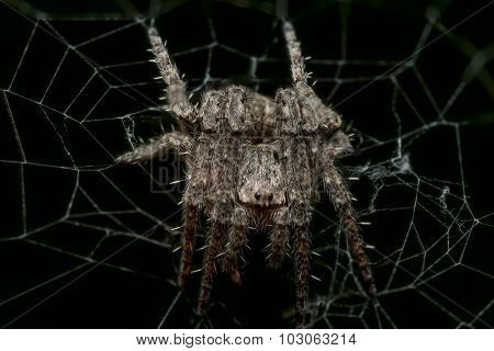 Small Spiky Orb Weaving Spider In Web With Black Background