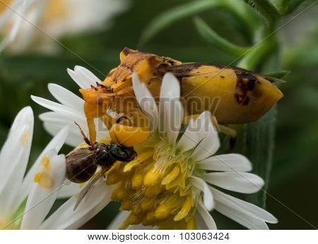 Yellow Ambush Bug Eats Wasp On White Aster