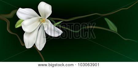 White Magnolia On A Black Background