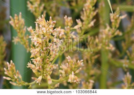 Dracaena Flower