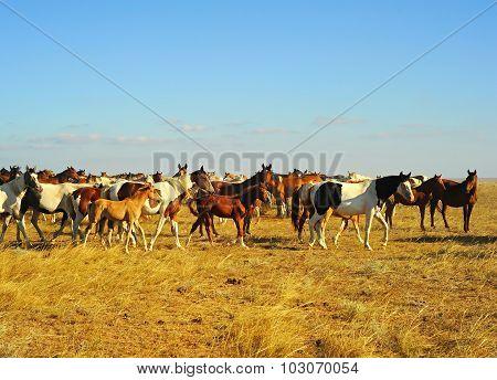 Crimea Horses