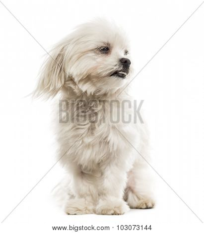 Maltese in the wind in front of a white background
