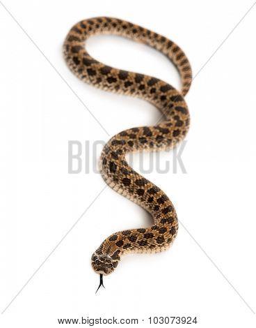 Western hog-nosed snake, Heterodon nasicus against white background