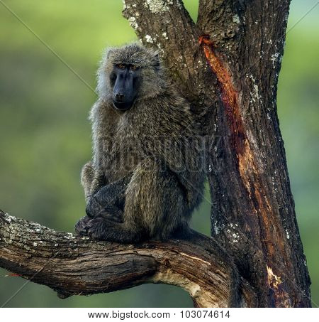Baboon sitting on a branch, Serengeti, Tanzania