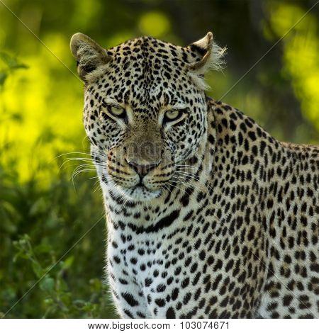 Close-up of a Leopard, Serengeti, Tanzania