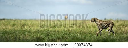 Attentive Cheetah,  Serengeti, Tanzania