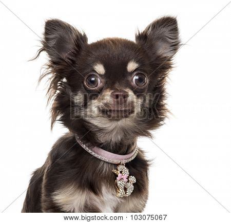 Chihuahuain front of white background