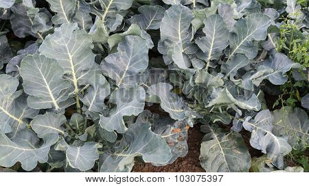 Young Broccoli Plants Seen From Above