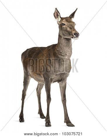 Female red deer in front of a white background