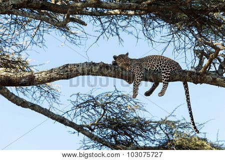 Leopard resting on a branch, Serengeti, Tanzania