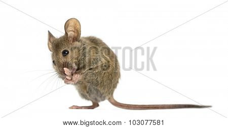 Wood mouse cleaning its paw in front of a white background
