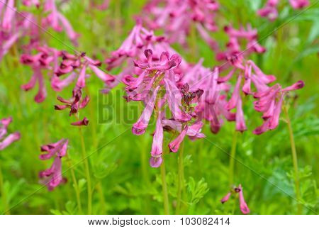 Flowers Of Birthwort (corydalis Buschii)
