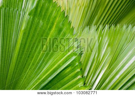 Green Fan Palm , Licuala palm nature abstract background