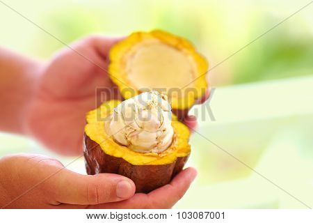 Man Holding A Ripe Cocoa Fruit With Beans Inside