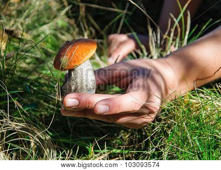 Orange-cap boletus Mushroom in man hand