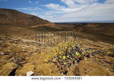 Vulcanic Timanfaya   Spain Plant Flower