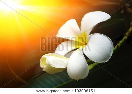 Frangipani (plumeria) And Sweet Flowers In Warm Colors Style For Background