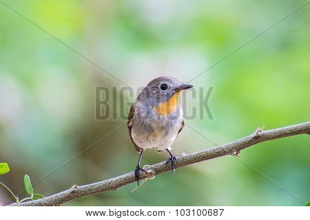 Red-throated Flycatcher (Ficedula albicilla) on the branches