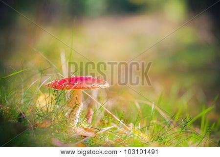 Autumn Toadstool Poisonous Mushroom Forest Litter