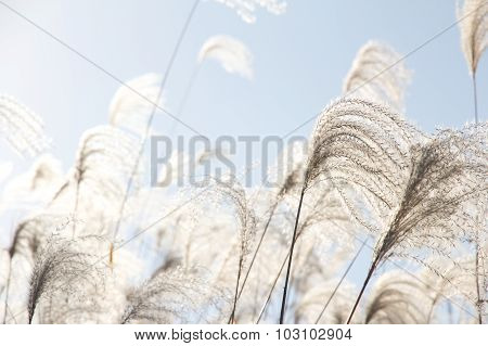 Field Grass Blowing in the Wind