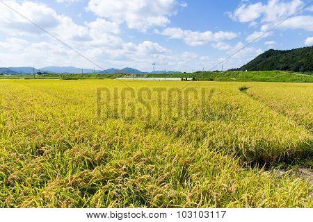 Paddy rice field in blue sky