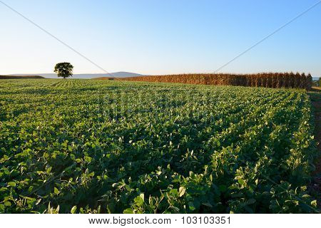 Soy Field and Corn in Late Afternoon Sun