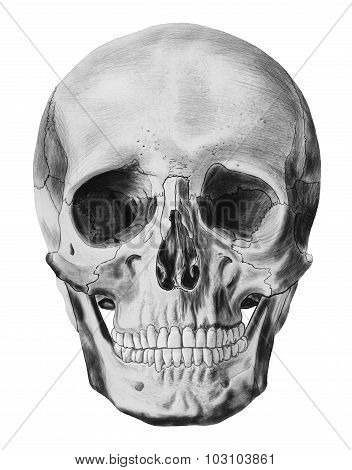 Human skull isolated on a white background