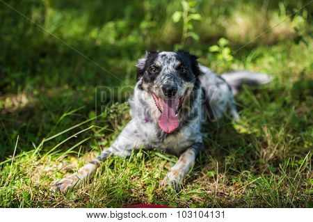 Border collie laying on grass