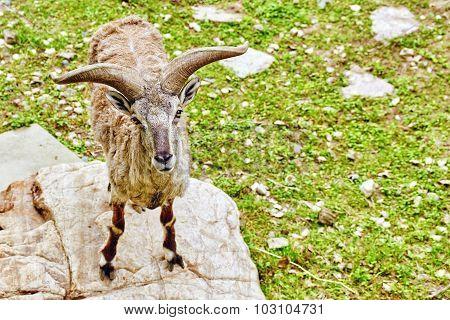 Animal Blue Sheep.