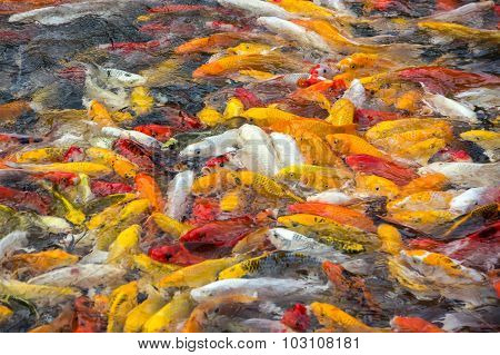 Colorful Koi Carps Surfaces In A Feeding Frenzy