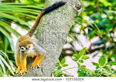 Common Squirred Monkey.