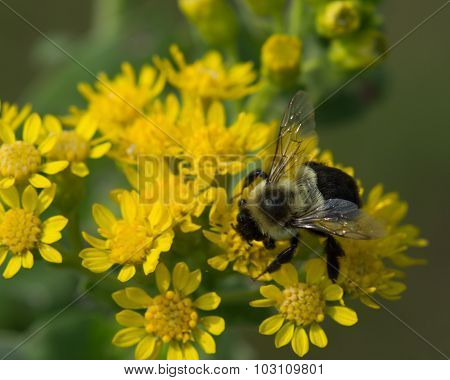 Bumblebee At Goldenrod Flower
