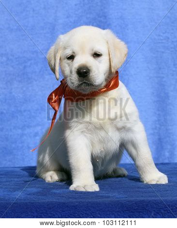 The Nice Cute Labrador Puppy On A Blue Background