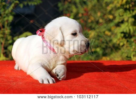 The Nice Cute Labrador Puppy On A Red Background