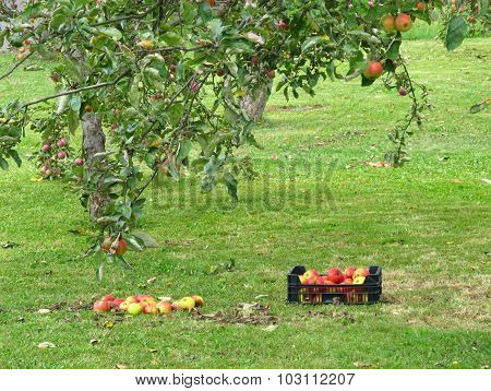 picking up the apples