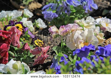 Multicolored Pansies In A Garden