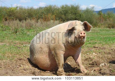 Big Sow